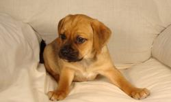 81/2 week old Puggle puppy for-sale, high energy and fun loving for the family.