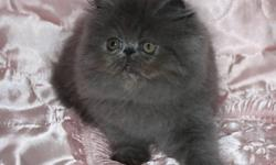 Available and ready to go     From Registered Breeder: The price depend quality and blood line,             As a pet or with full right Pure Breed Himalayan kitten: Tortie Lynx Point girl, two vaccinations, de-wormed done, 14 weeks old The price as a pet