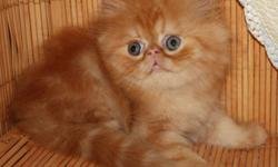 Available and ready to go     From Registered Breeder: The price depend quality and blood line,             As a pet or with full right Pure Breed Himalayan kitten: Tortie Lynx Point girl, two vaccinations, de-wormed done, 16 weeks old The price as a pet