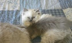 I have 2 himalayan kittens for sale.  They are 11 weeks old and have been vet checked and had their first shots.  I have 1 male and 1 female.  Both are playful, litter-trained and weaned.  Parents on site.