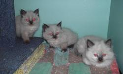 Beautiful, healthy Himalayan kittens ready for their new homes now....seal points and one cream point. Dewormed,flea treated and home raised. $250.00