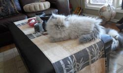 1 girl 2 boys..ready to go now.. (  sale pending on one boy) Vaccinated De wormed.Healthy..PKD NEG..   Will look at all reasonable offers on these 3.. ($200) Also 2 Persian  x Himalayan Boys available...