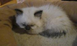 5 Loveing kittens to a good loveing home we have 5 loveing kittens good with kids and dogs. 6 weeks old  4 males - 1 female  Blue eyes, coats that shed vary little due to the ragdoll influence  litter trained not vet checked call 519-273-2976