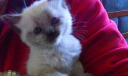 FOR SALE ..HIMALAYAN SIAMESE MIX KITTENS .COAT LENGTHS VARY ,BLUE EYES,CHOCOLATE POINTS .GENTLE KITTENS ,WHO DON'T SCRATCH OR BITE .THEY ARE EATING DRY KIBBLE USEING LITTER BOX AND READY TO BE REHOMED MAMA'S DONE NURSING ,........PLEASE DO NOT REPLY BY E