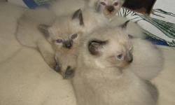 Beautiful Himalayan X Siamese kittens available.   2 girls and 3 boys, mother is Sealpoint Himalayan and father is chocolate point Siamese.   Kittens come as blue point, chocolate and seal point. All have beautiful blue eyes   Ready to go for Oct 31st.