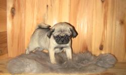 One is really smart and the other is really cute. They are up to date with health certificates and shots. The Wug is a Pug crossed with a Wheaten Terrier and would be good in agillity she is smart really listens to a person and wants to please also like's
