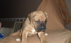 Boxer Puppies For Sale! Pups are 4 weeks old, home raised. Ready January 30th. There are 2 beautiful fawn females left. Puppies are huge, had to get a c-section done because of their size. They are raised in a loving home with cats, mother is on site.