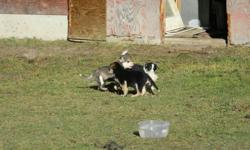 Have to give away 7 husky collie cross pups and 2 rottie collie cross pups.  One male rottie cross and one female rottie cross.  The male rotti was born with a problem with one of his front legs and the vet says that its not growing the same as the rest.
