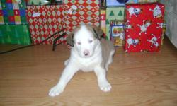 This adorable little guy is looking for his forever home. I have a beautiful blue eyed male husky mix puppy in need of a good home. Ready to go between Christmas and New Years. Very playful and well socialized with our other dogs and children. Being