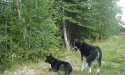 i have a large size dog about 2 and a half to three years old. He is a shepard husky x and is chipped neutered and has his shots up to date. i am looking for a good home with a large years as he is a very energetic dog as well great with kids. my current