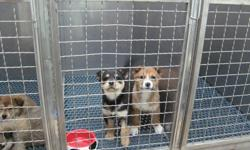 Rescue puppies, about 10 wks old, husky X, 3 girls, one 3.5 legged boy. Spayed, neutered, dewormed, first vaccines (need 2 more boosters and rabies). Need socialization, a bit shy but they love people. Can be outdoor dogs as adults. 3legged boy may need