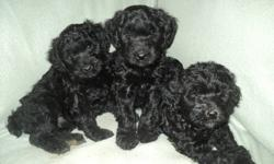 These puppies will be ready for their new homes on October 15th!!  They are non shedding and hypoallergenic so great for people with allergies!  They are very well socialized.  They come with their first sets of shots,  vet certificate, health guarantee