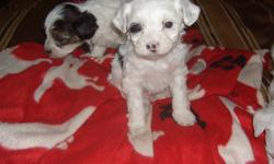 Chinese crested powder puff puppys, 4 boys left ready on the 12th of jan. Come for a look and meet these beautiful boys. Will be vet checked with shots up to date and de worming. Please email for phone number and questions. Thanks