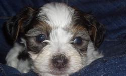 Chinese crested powder puff puppies. Ready jan 12th . Rasied in home and much loved, fermillar with other pets and kids. 4 boys.