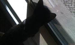 MidKnight is a very friendly cat, he loves to play, be around people. The one thing he loves to do is sleep by your feet or on your chest. MidKnight needs the attention that i havent been giving him because of my full time schooling.
