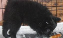 I have for sale 1 beautiful black male pom pup. Born on Sept 4 / 11. This pup needs new homes asap, he had his first shots and was dewormed.  He  will make a good protective, compassionate, loving, and affectionate dog., He  have been around kids.  He is
