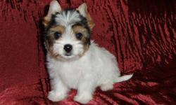 ONE LEFT, FREE DELIVERY,  READY NOW!   Meet Japonica. She is an IBC Registered Biewer ( tri-coloured) Yorkshire Terrier who is full of life, spunky and affectionate. Japonica is a very sweet little girl who loves to cuddle but put her down and she'll
