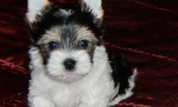 Hi,   I currently have a litter of  rare Biewer (tri-coloured) Yorkshire Terriers who will be ready December 19th. JUST IN TIME FOR CHRISTMAS! I have 1 girl and 1 boy left who will be around 51/2 lbs. full grown.   The first 4 pictures are of Ilex. He is