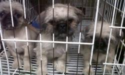 Here is three male shih tzu x pug puppies. I adore these guys, playful, gentle and cuddlers. They have recived their first round of shots, dewormed and dewclas removed and given a full clear bill of health.                                    I am willing