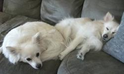 We have two miniture American Eskimo X Pomeranian sister dogs looking for a new loving home. They are 3 years old and in very good health, they have regular vet checks and all shots up to date. They are no spayed and the vet says they are good for