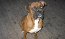 Looking for a new home for our male boxer. He is very playful and loving.  He is intact.   $500