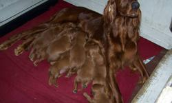 Irish setter puppies, CKC registered, health garanties, dual type. Sire is show champion and dame is hunting champion line from New Zealand. Exceptional temperament!! 1 male left, 2 females. Ready to go. Ask for Diane    306-638-2251