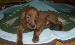 Beautiful Irish Setter pups for sale - will be ready to go for the holidays! We have 1 female and 3 males still available. They come from CKC and AKC registered parents, and are guaranteed for hip dysplasia and inheritable eye problems. All pups will be