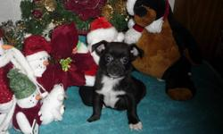 Jack Russell X Poodle   Better known as Jack-Poo?s   1 MALE - 2 FEMALES LEFT   The male is on the blue blanket   There is 1 female and 1 male still available. Our puppies are vet checked, 1st shots, and dewormed.  For more information please   Call   or