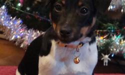Jack Russell Puppies for sale.  Turn 19 weeks old on Dec. 15/11.  Received complete series of vaccines and rabies shot, paper trained and are now ready for their new homes.  They have their individual Health Record, Rabies tag, collar and leash.