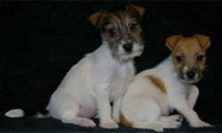 We have both male and female Jack Russel Terriers available for sale, both smooth and rough coat. They are vaccinated, including kennel cough vaccine, and have been dewormed regularly. SPCA License # .....0623