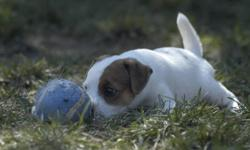 Inseguire Kennel is expecting a litter of purebred, registered, puppies in February 2012. Our puppies have great drive and lovely temperaments and have gone on to earn titles in conformation, agility, flyball, dock-dogs, racing, field work, and many many