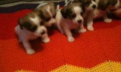 4 beautiful Jack/Shih Tzu's puppies for sale, 2 girls and 2 boys Vet checked, first shots and deworming. Mom is a Jack, Dad is a Shih Tzu, parents are on site Our babies will be ready Dec. 16. We are asking for a $50.00 deposit, If interested please email
