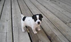 Jack Russell Terrier Puppies.  All the puppies are  sold - more next summer!!!! Tri color.      Only one female left!     We have been raising healthy Jack Russell puppies in our home for more than 17 years.  Jack Russells are fun, energetic loving dogs
