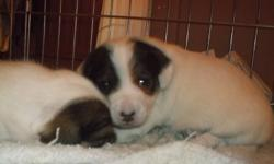 Two gorgeous, purebred, female Jack Russell puppies for sale. Come from champion blood lines- great conformation, and perfect markings for show. Both parents are well socialized and have lovely dispositions. Puppies are well socialized and have been