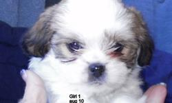 come see these fluffy and active puppies---surprise packages of love---born on August 10  to a Japanese Chin Mom and a really sneaky Chihuahua Dad---2 girls and 1 boy to love and laugh at--- these pups should be about 10 pounds at adult --have had their