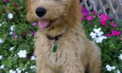 Chai Kennels has a new litter of Goldendoodles. All our puppies come home raised and very well socialized.  24 month health gurarentte, microchipped, vacinated, and with a puppy package. Both parents are CKC registered and on site loving visitors. Pups