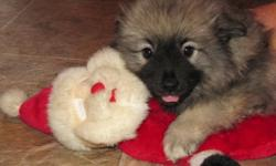 Excellent Mom has had her very first litter and one girl still looking for her perfect family. These little Keeshond is plump and full of beans. Their Dad is a handsome charmer as well. Keeshond are known as the Smiling Dutchman and the Dutch Barge Dog.