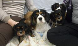 We have a beautiful litter of 4 King Charles Cavalier Puppies available to go to their new homes.  They have been vet checked, vaccinated and dewormed.  There are two males and two females.  Mom is on site and she is a tri-colour.  Dad is a blenheim.