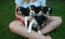 We have 5 beautiful King Charles Cavalier Spaniel puppies available to go to new homes.  There are 4 females and 1 male.  They have been seen by the vet and have been given their first vaccinations and have been dewormed.  They are great with kids and