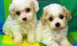 Cute and cuddly with wonderful personalities. 2 Males and 4 females available. Will come with shots to date, deworming and vet check. Mom and dad on site. First two pictures are of the girls, third picture of the boys. Call to arrange for a visit.