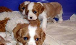 We have 4 purebreed CKC registered King Charles Cavaliers for sale. The puppies were born November 12, 2011 and are ready to be rehomed Jan. 8th, 2012. There are 2 boys and 2 girls. We have the pedigree papers for both parents. The color is blenheim white