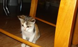 This little girl was found abandoned on a gravel road just outside of Morden. At about 8 weeks old. My mom took her in but unfortunately can't keep her because of my cat allergies. We are now looking for a loving home for her. This playful little kitty