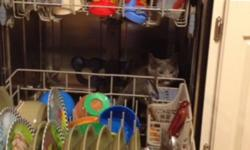 The kitten is approximately 10 weeks old, all grey with all four paws white with a white chest. Very friendly, good with kids. Litter box trained. Will give all stuff I have for the cat as well. My 1 year old is allergic. Need him gone ASAP!