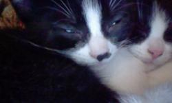Mikittuq's Pet Rescue has numerous kittens for adoption.  This picture is one of the kittens, more pictures will be posted.  They are all short haired, some are great with dogs as we have 3 dogs here in the house with the kittens.  They are a variety of