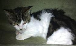 Hi, my name is Abel. I am a foster kitten. I am being taken care of by a wonderful lady right now but have had a very rough life. I am about 10 weeks old. I was found under an abandoned house in Cardston. No one was feeding me or taking care of me. If I