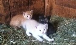 Many colours to choose from, black, light cream, colico, orange stripe. Barn raised, kid handled, friendly kittens would make great little mousers as indoor or outdoor cats. Would also make great indoor companions.