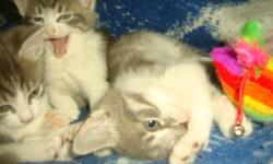 I have 3 kittens in need of good homes. All males. They're very adorable and playful. All in good health, and flea treated. Great with kids, dogs, and other cats. Have been held since birth. I would love to keep them but we already have 3 other cats, a
