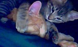 2 older kittens about 4-5 months old one male who is light grey tiger striped we call buddy and one darker grey female who has calico orange spots we call pinky, also available are 4 younger kittens about 3-4 weeks old   will be ready to go in 2-3 weeks