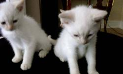 Available Immediately - absolutely pristine pure White Kittens from White father and mother..All have blue eyes and ready for new home..Very playfull, long legs and rare. Last 3 available and mother getting fixed. Once gone -Gone ! Kittens dont hiss,