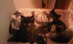 I have 6 kittens that will be ready to go in about 2 weeks they are very cute, aand vary in color two are black the other three striped I posted pictures of all of them . Contact me ASAP so you can have first choice!!